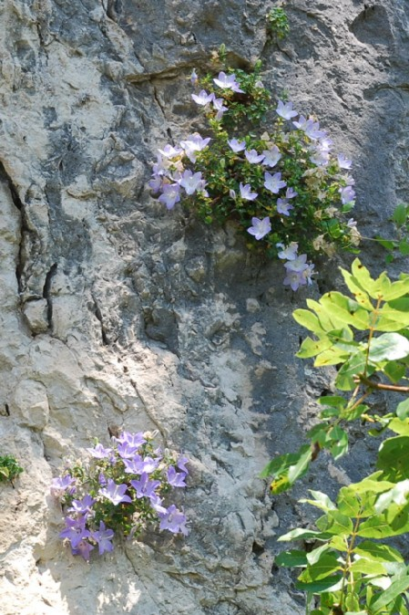 Campanula fragilis subsp. cavolini 7