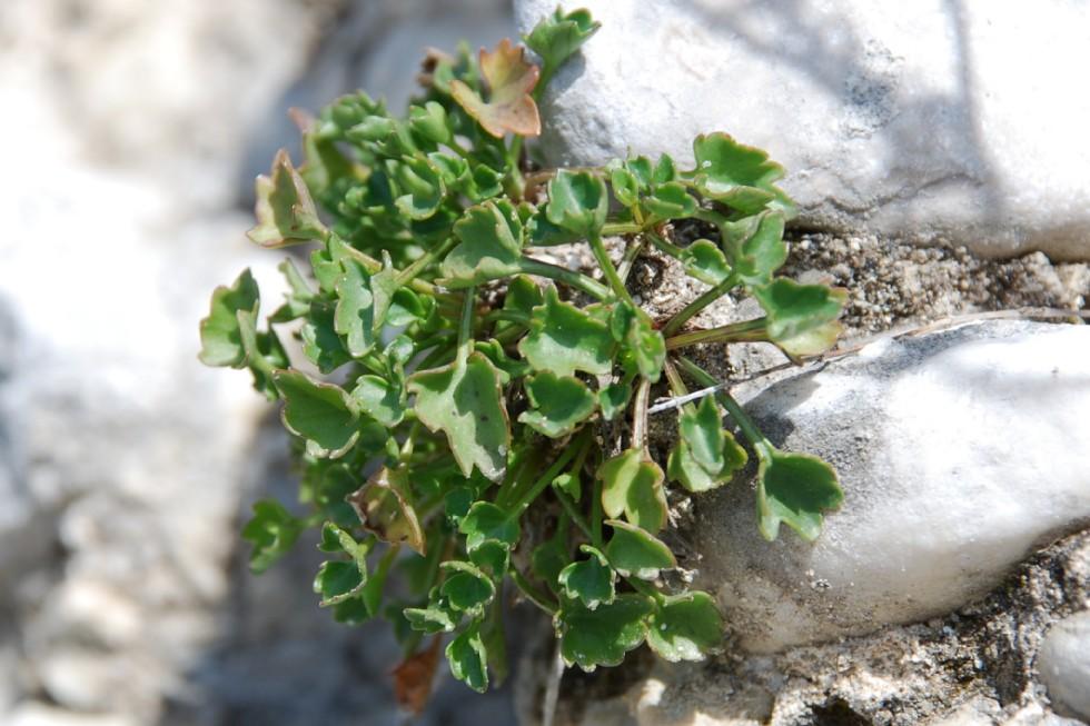 Campanula fragilis subsp. cavolini 9
