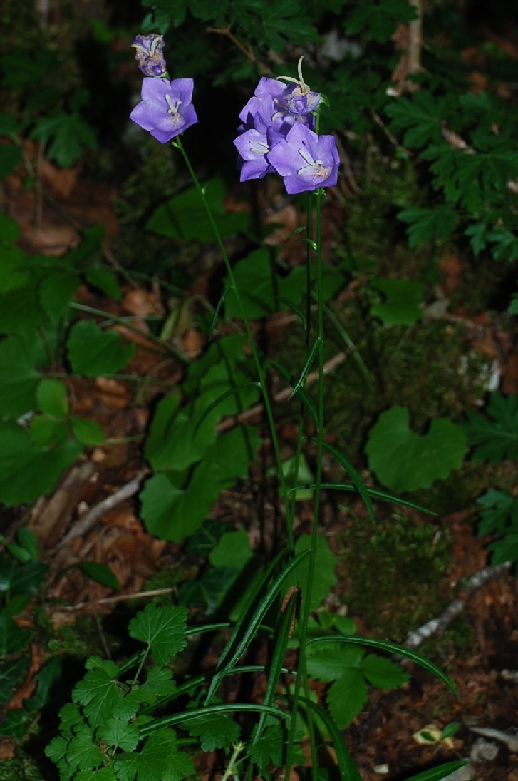 Campanula persicifolia subsp. persicifolia 2