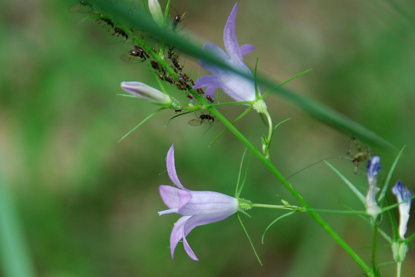 Campanula rapunculus subsp. rapunculus 2