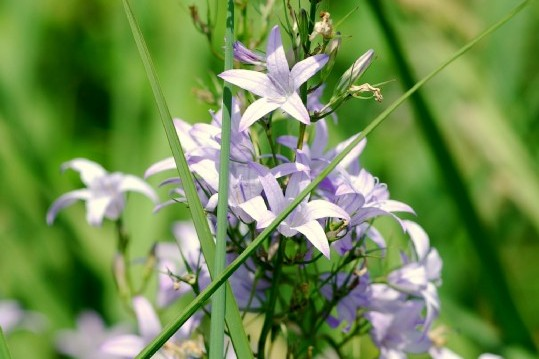 Campanula rapunculus subsp. rapunculus