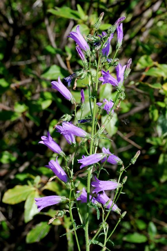 Campanula sibirica subsp. sibirica