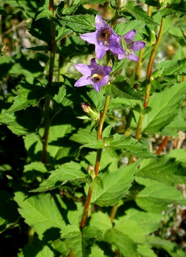 Campanula trachelium subsp. trachelium 11