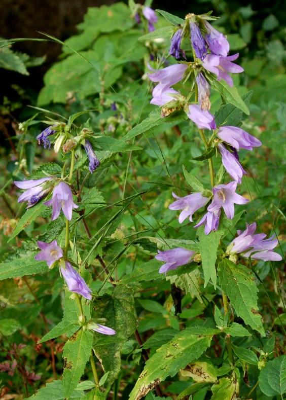 Campanula trachelium subsp. trachelium 12