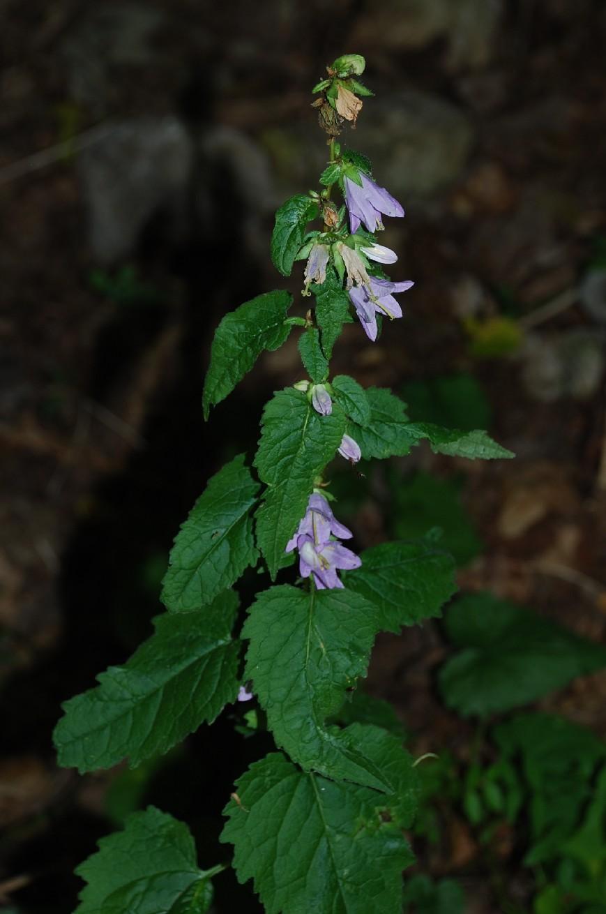 Campanula trachelium subsp. trachelium 13