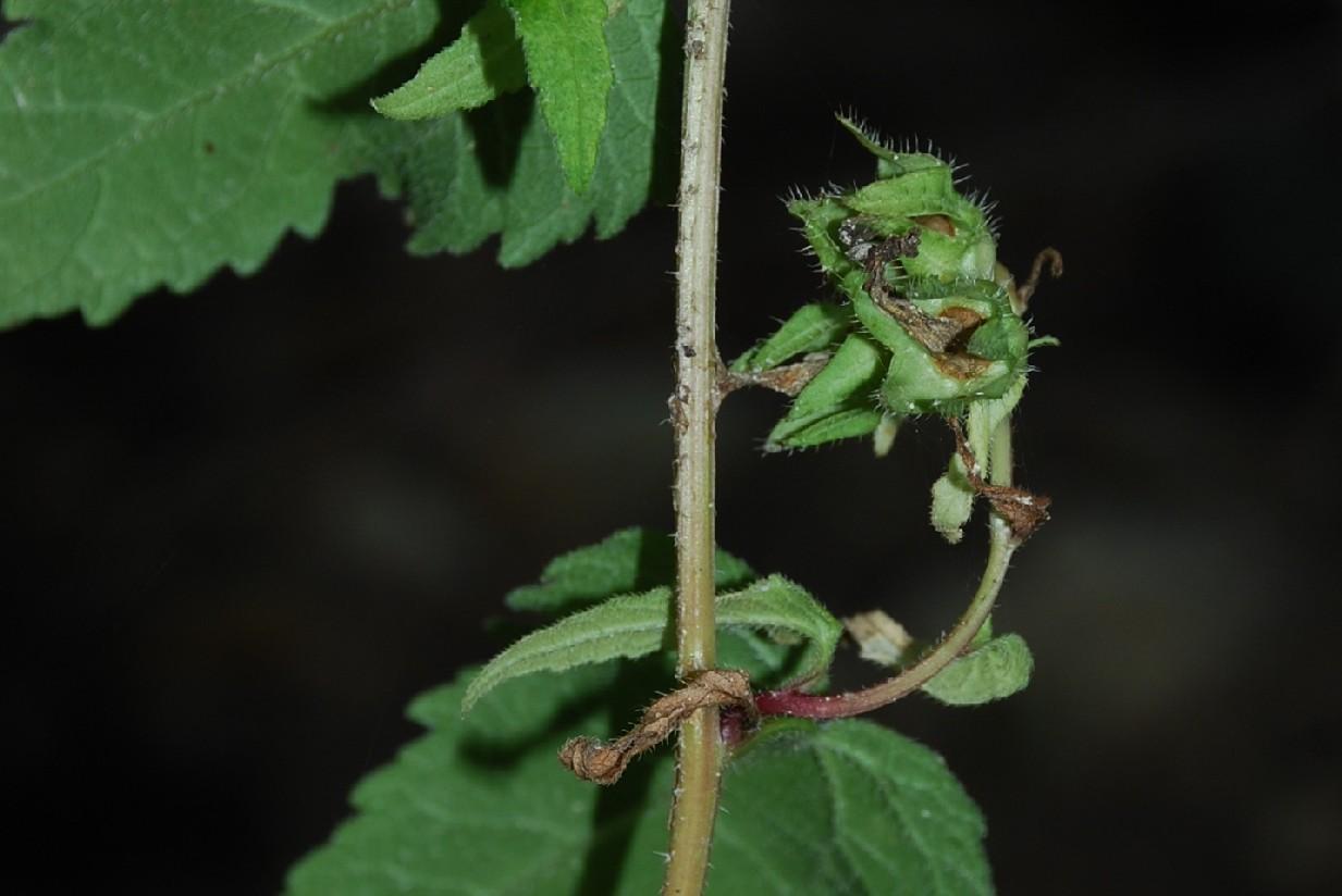 Campanula trachelium subsp. trachelium 16