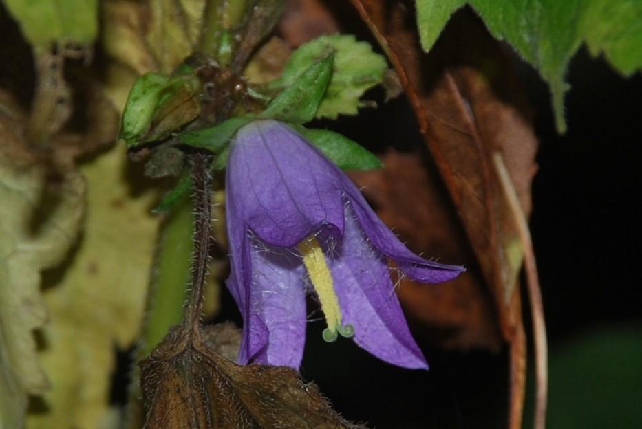 Campanula trachelium subsp. trachelium 23