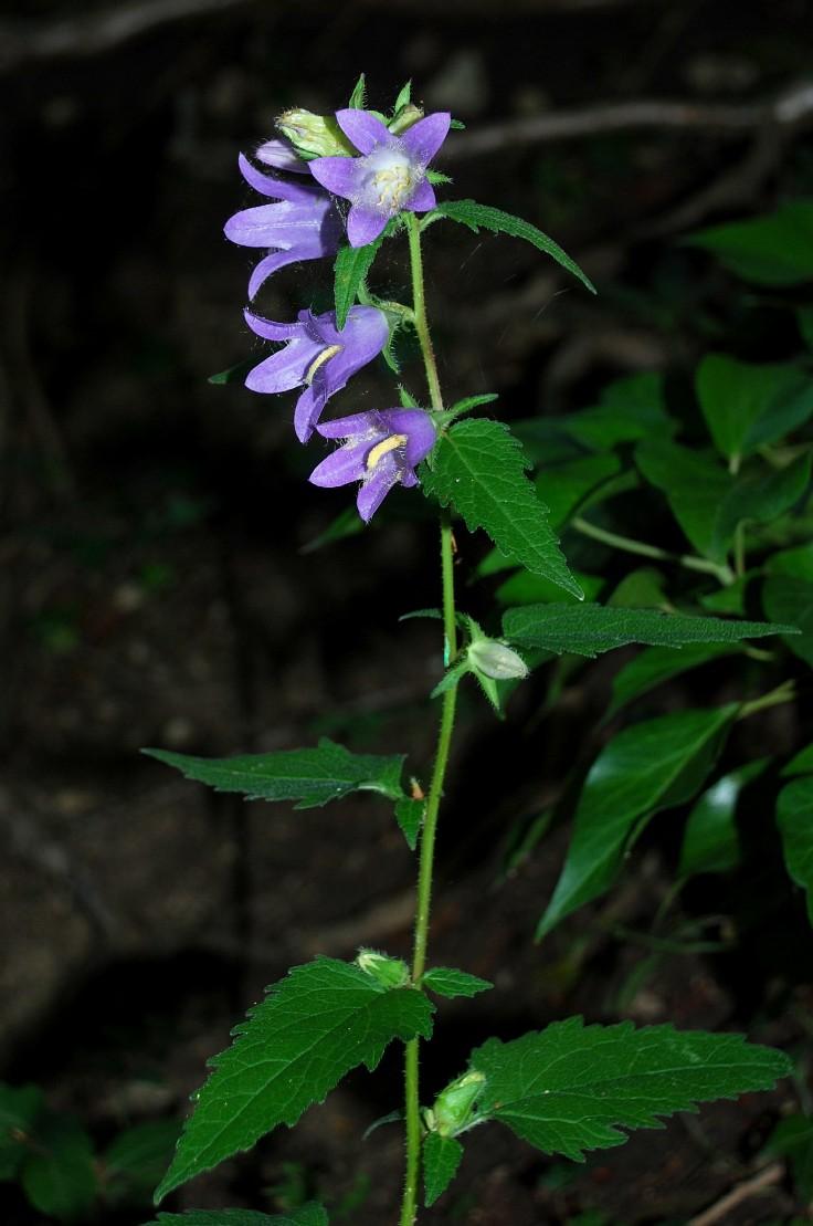 Campanula trachelium subsp. trachelium 25