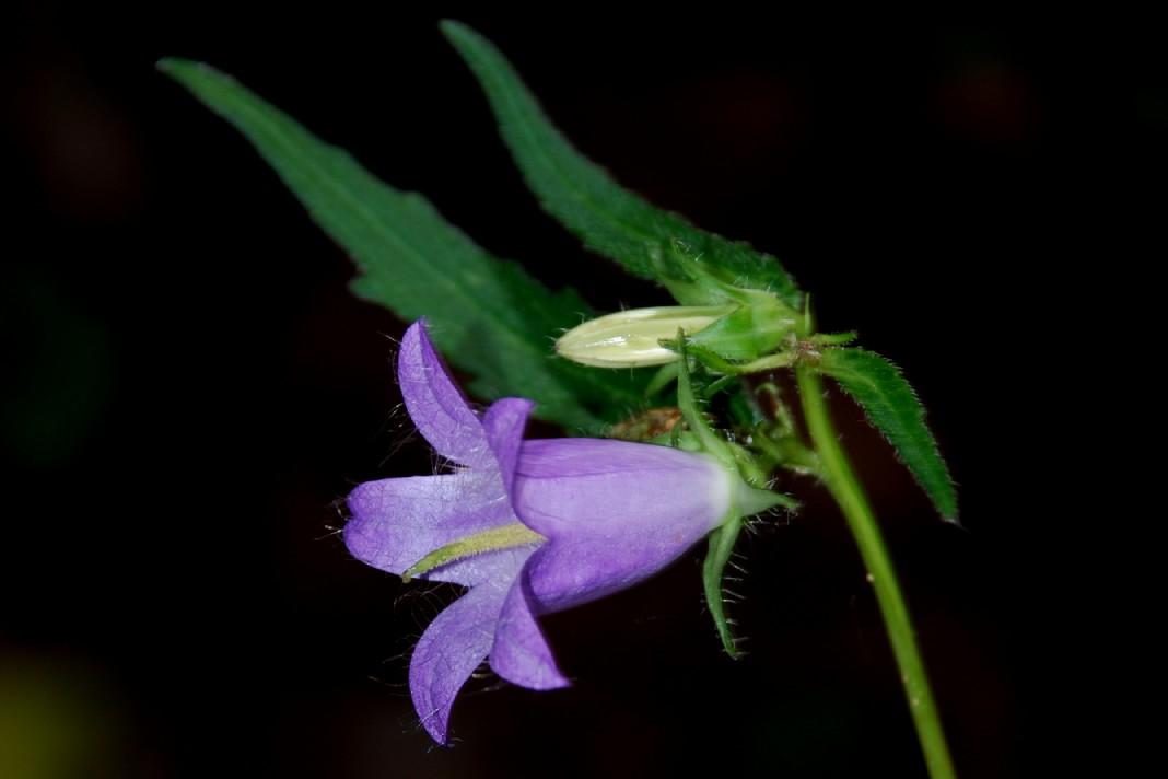 Campanula trachelium subsp. trachelium 4