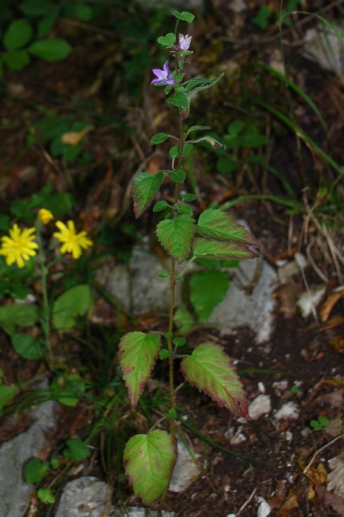 Campanula trachelium subsp. trachelium 7