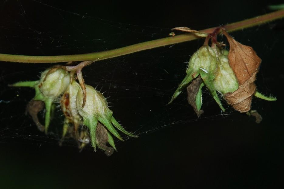 Campanula trachelium subsp. trachelium 9