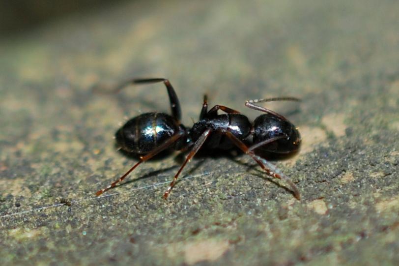 Camponotus sp. - Formicidae