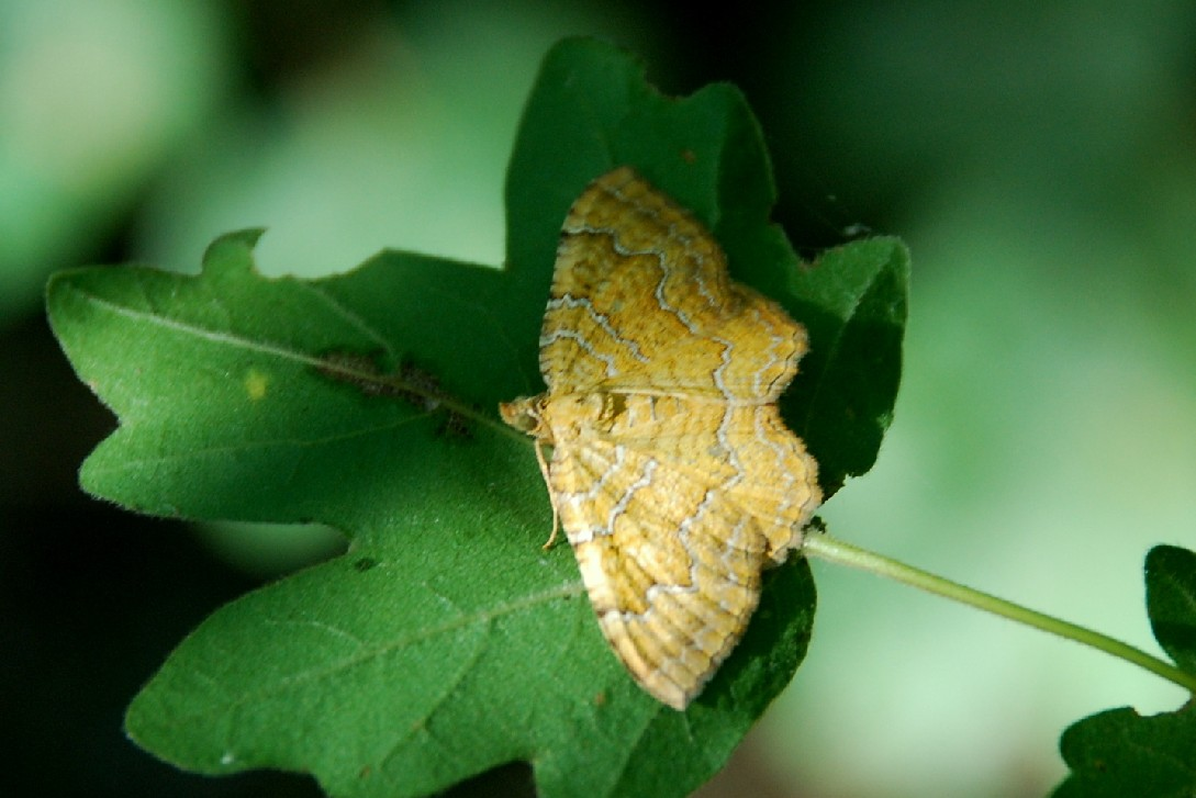 Camptogramma bilineata - Geometridae