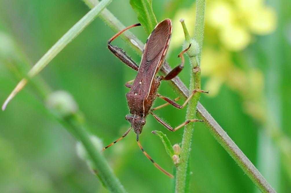 Camptopus lateralis - Alydidae