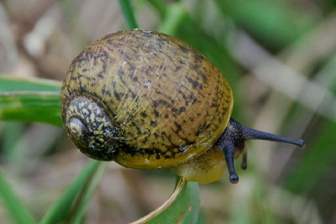 Cantareus apertus - Helicidae