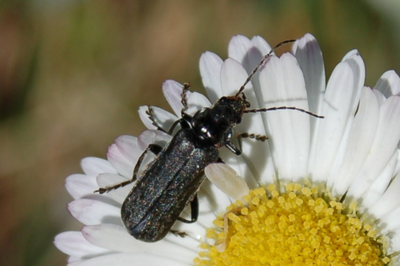 Cantharis tristis - Cantharidae