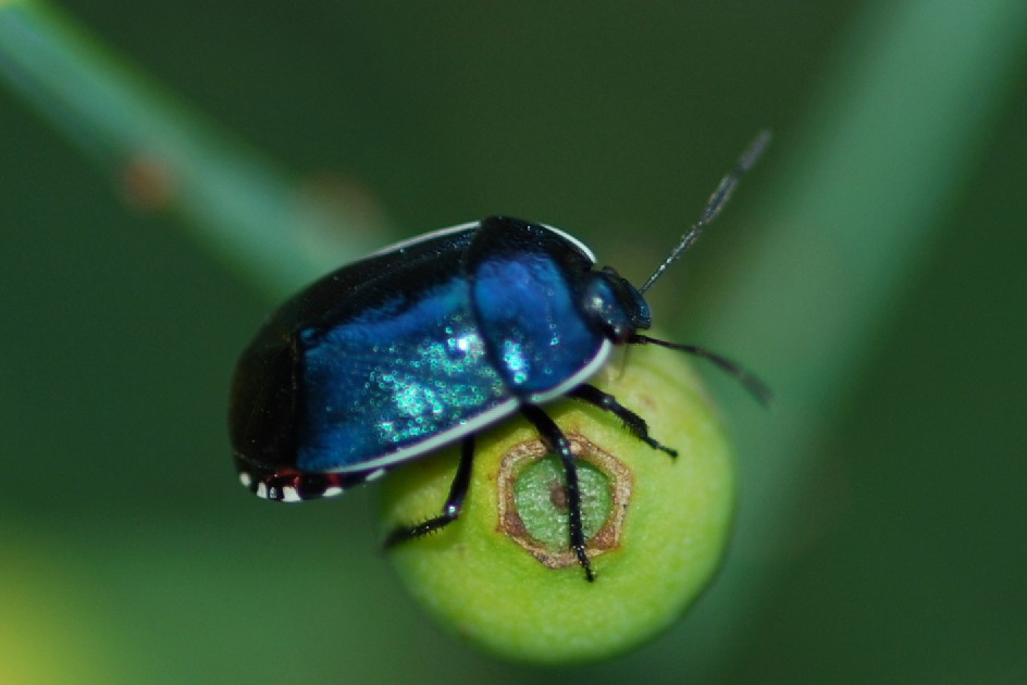 Canthophorus melanopterus - Cydnidae