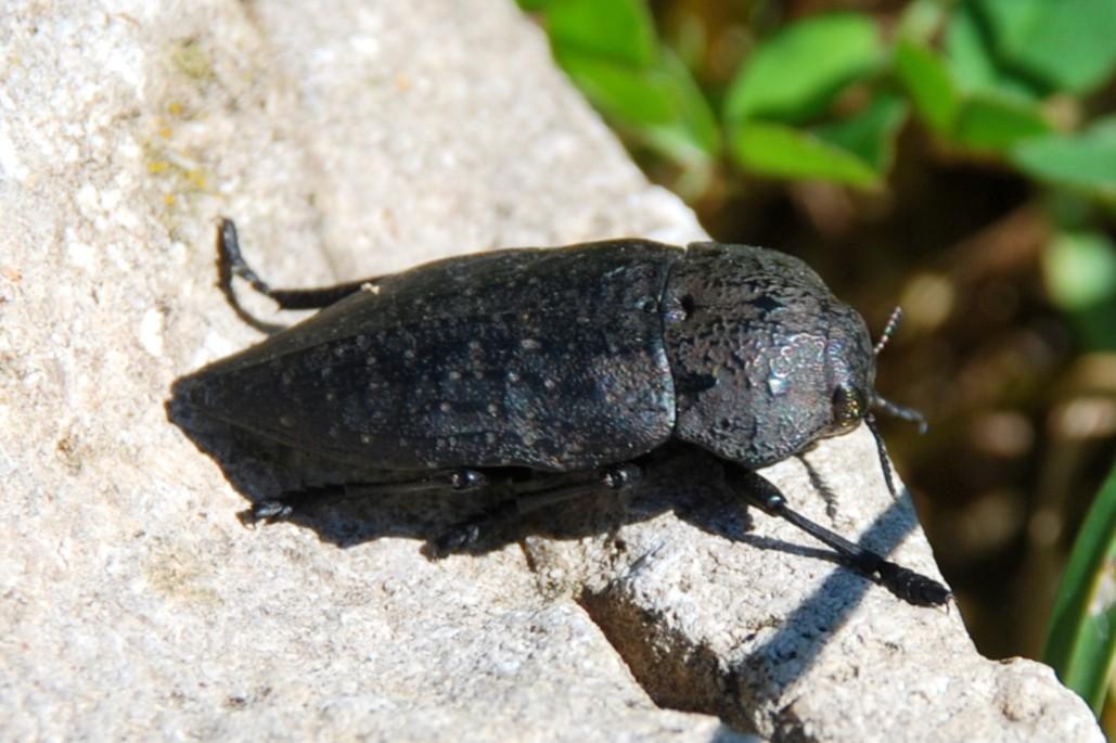 Capnodis tenebricosa - Buprestidae