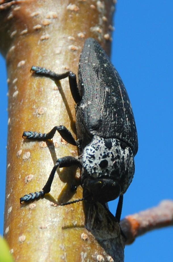 Capnodis tenebrionis - Buprestidae