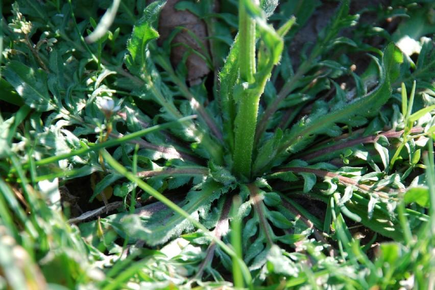 Capsella rubella 10