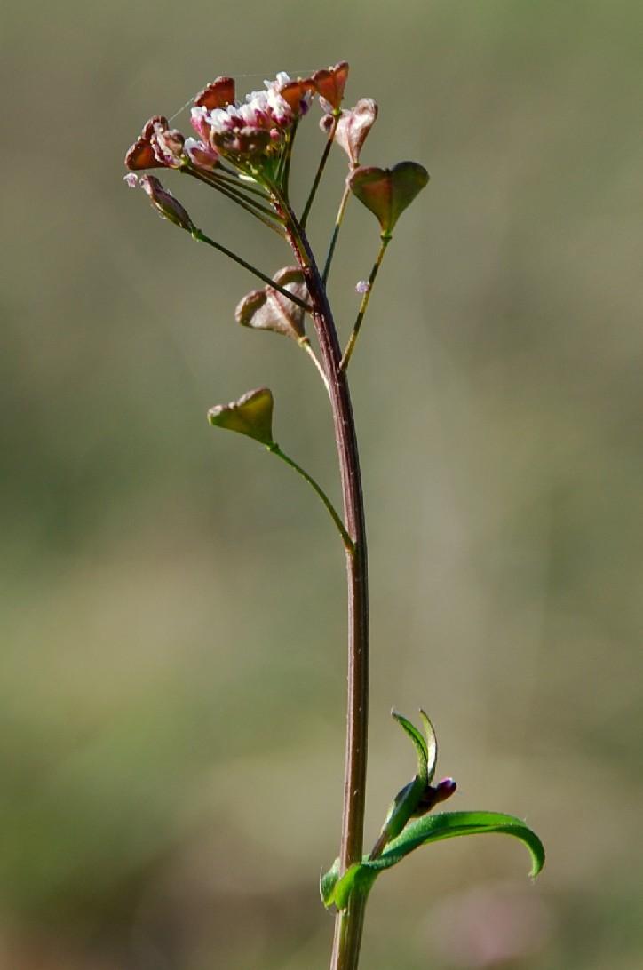 Capsella rubella 3