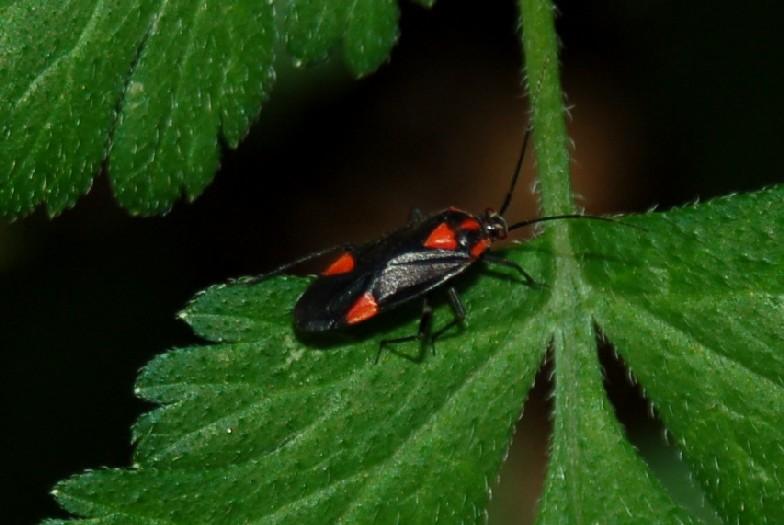 Capsodes mat - Miridae