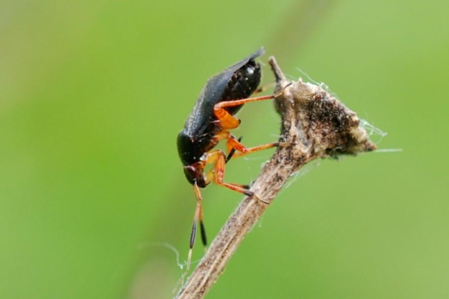 Capsus ater - Miridae