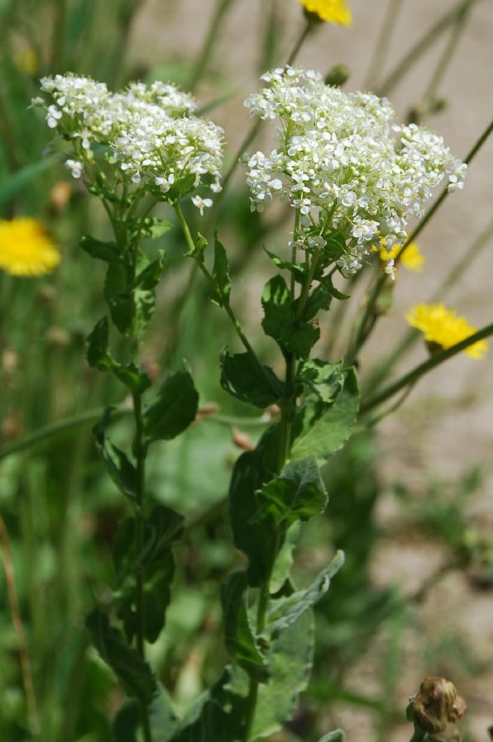 Cardaria draba subsp. draba 13