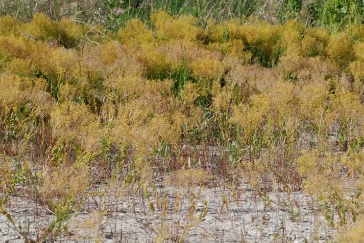 Cardaria draba subsp. draba 14