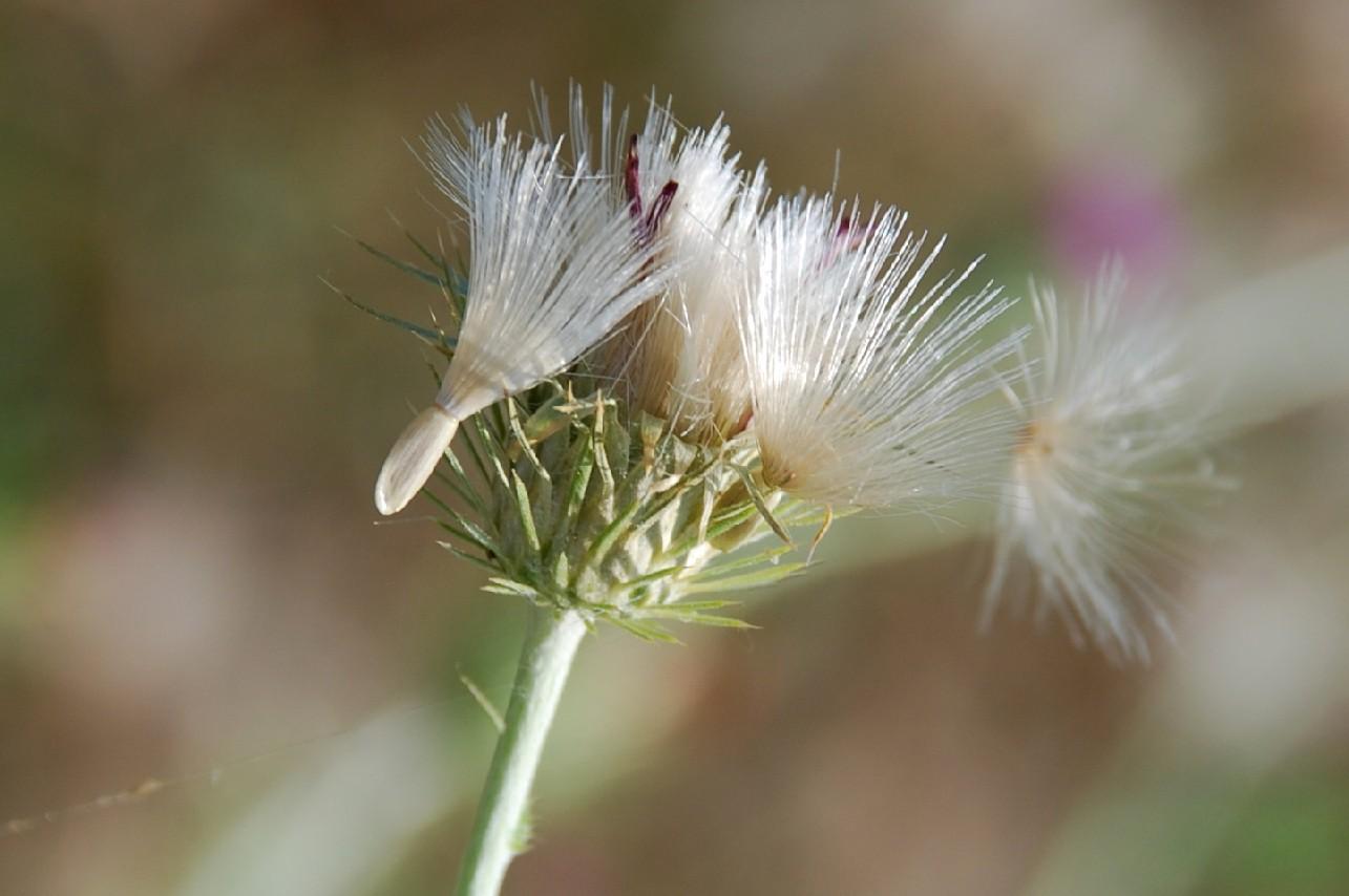 Carduus acicularis 13