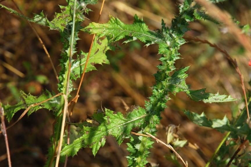 Carduus acicularis 4