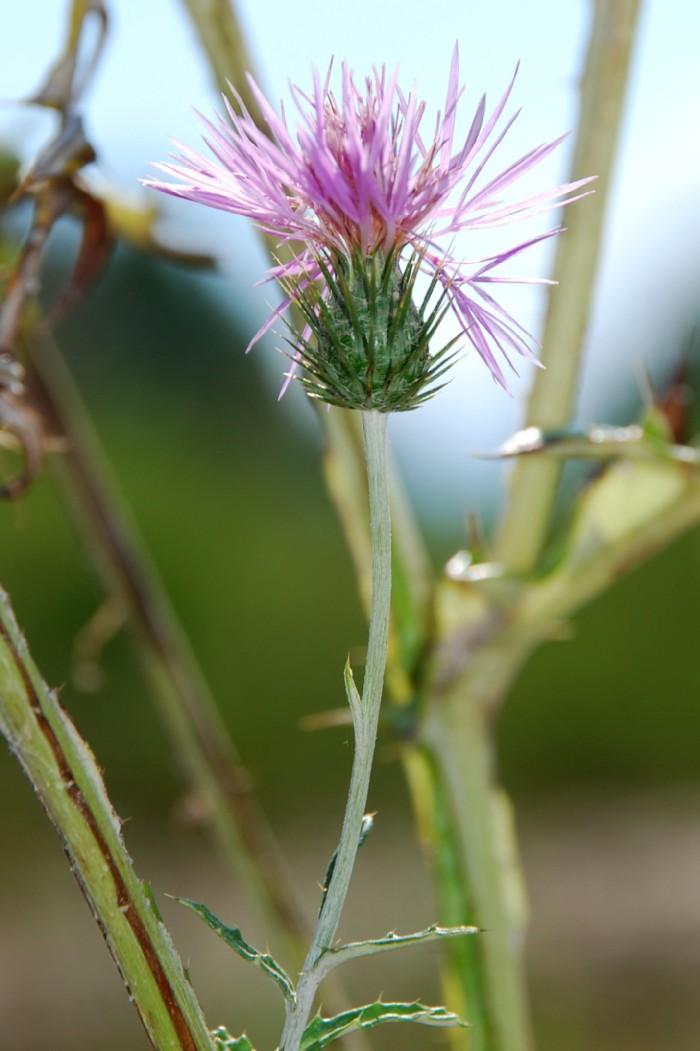 Carduus acicularis 6