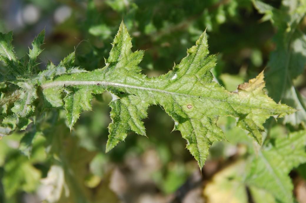 Carduus acicularis 9