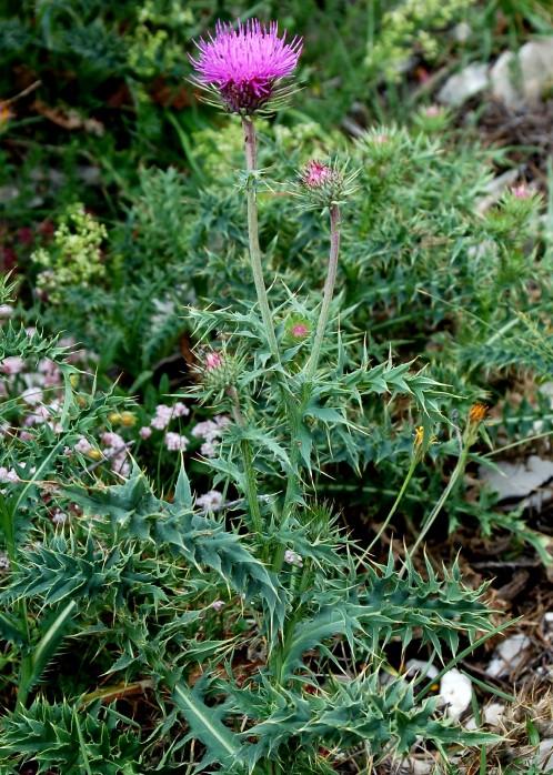 Carduus carlinifolius
