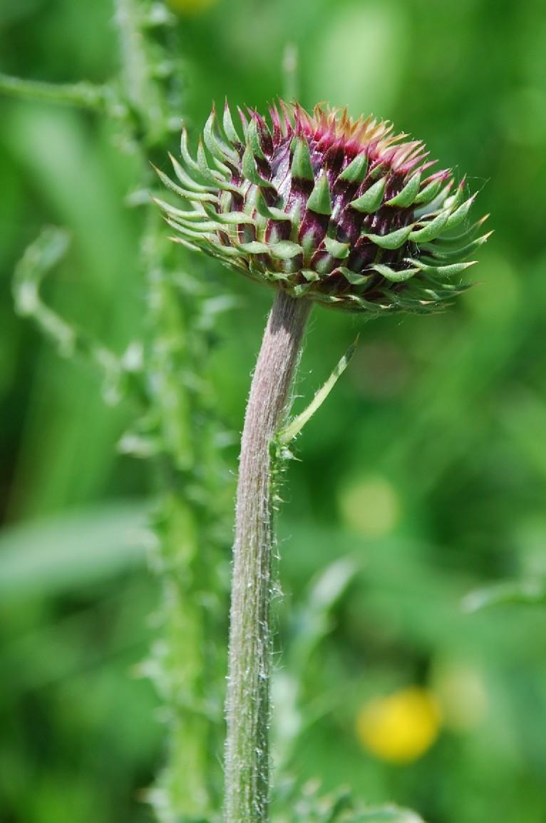 Carduus nutans subsp. nutans 4