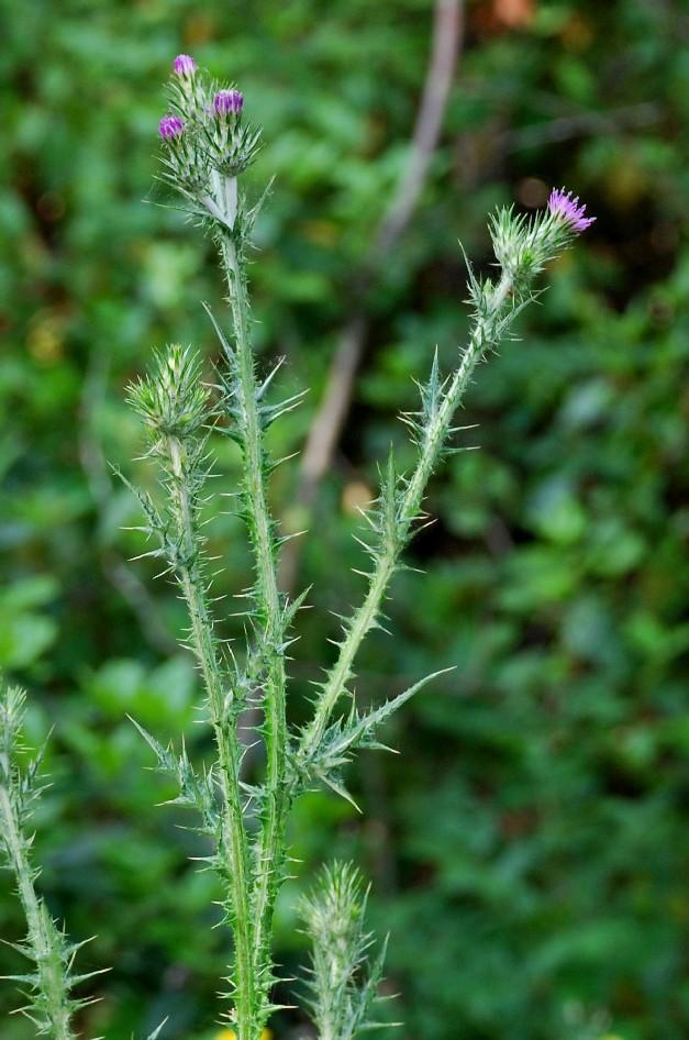Carduus pycnocephalus subsp. pycnocephalus 2