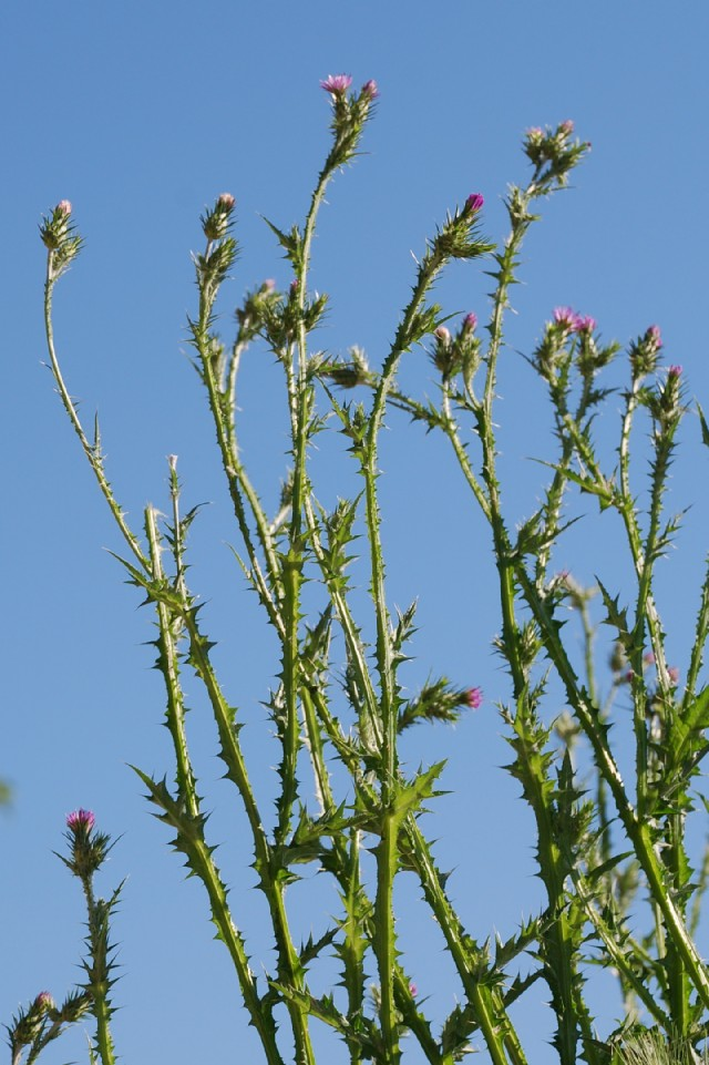 Carduus pycnocephalus subsp. pycnocephalus 9