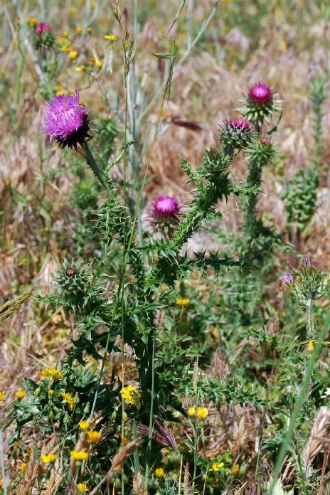 Carduus nutans subsp. nutans