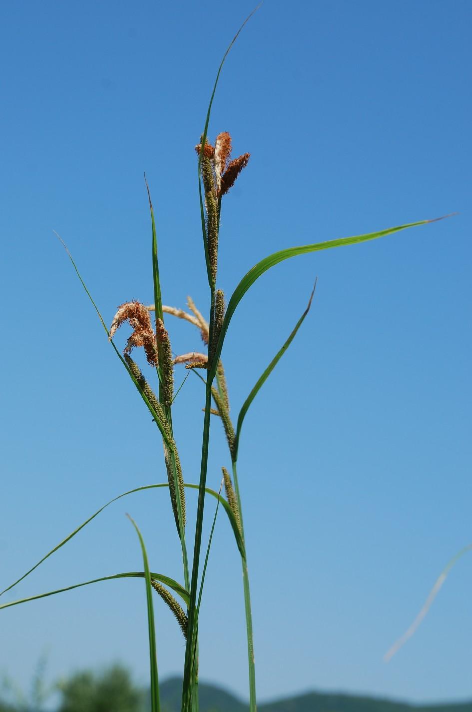 Carex acuta 10
