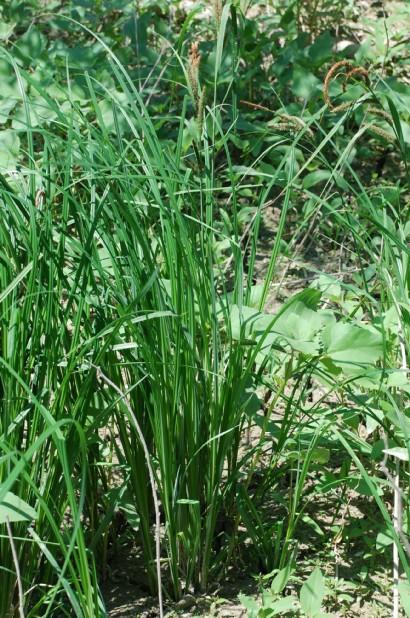 Carex acuta 17