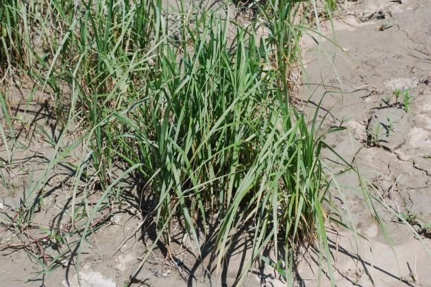 Carex acuta 18
