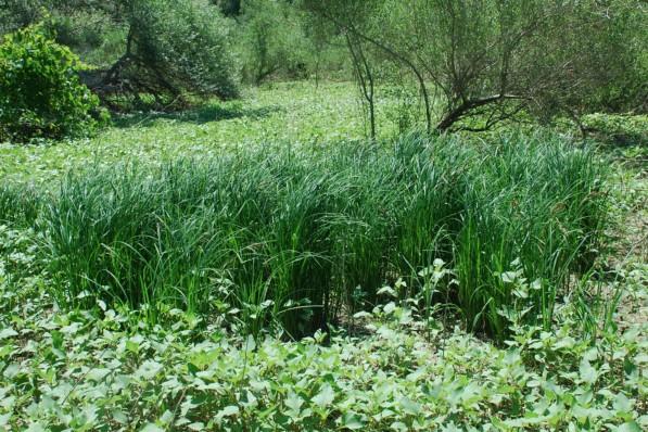 Carex acuta 22