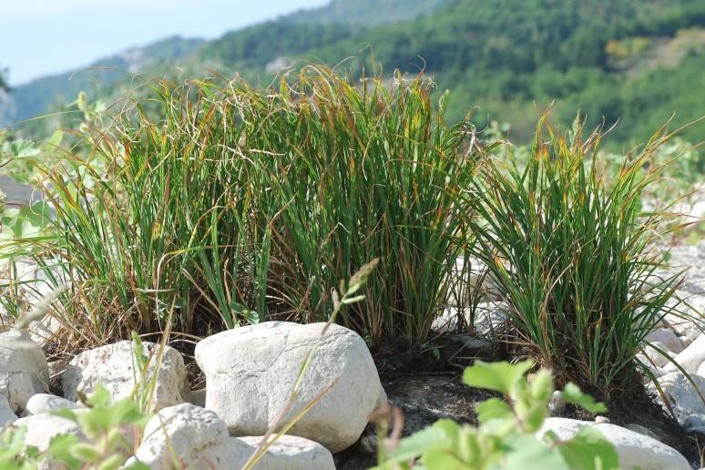 Carex acuta 24