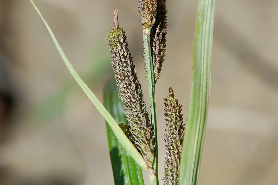 Carex acuta 7