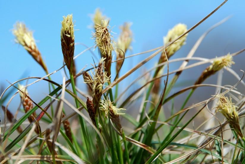 Carex caryophyllea 2