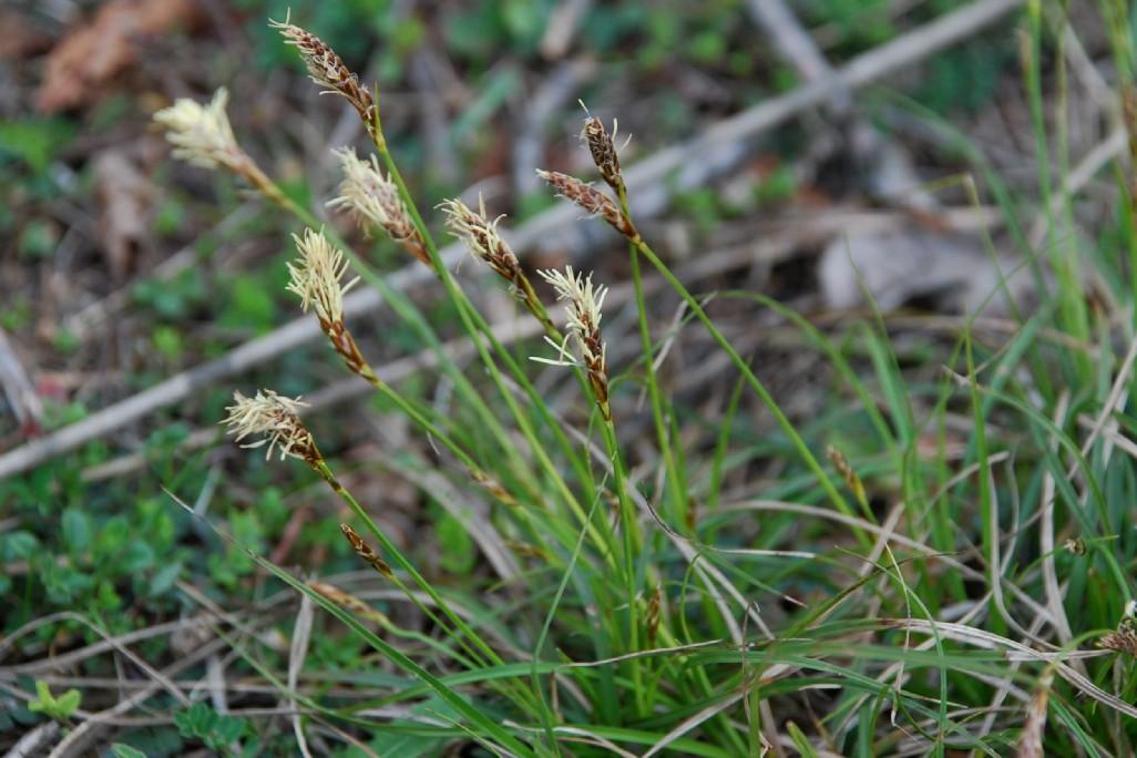Carex caryophyllea 5