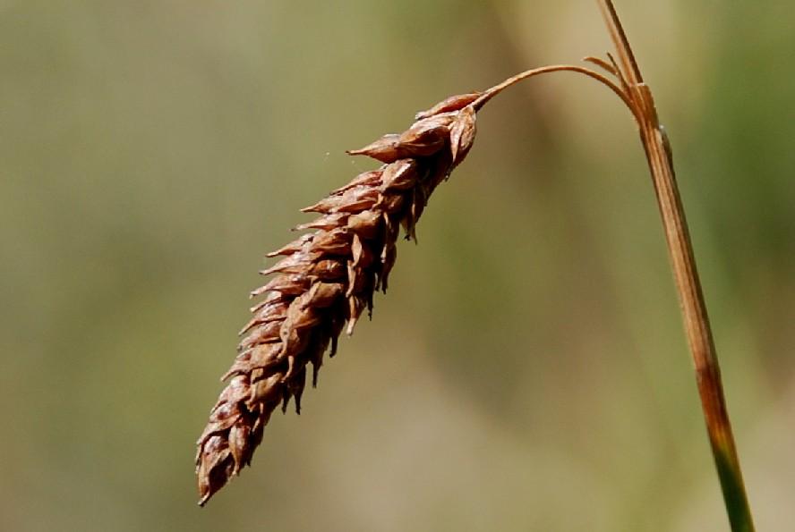 Carex distans 2