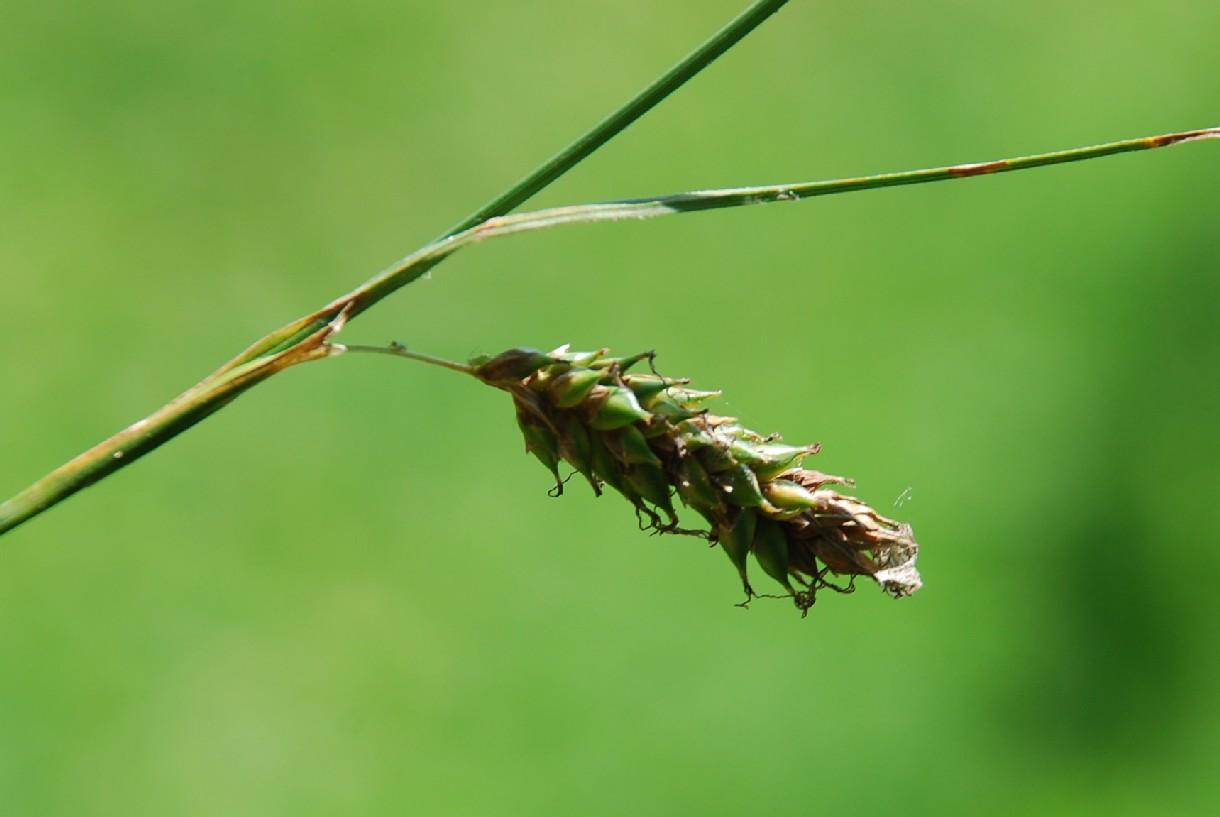 Carex distans 4