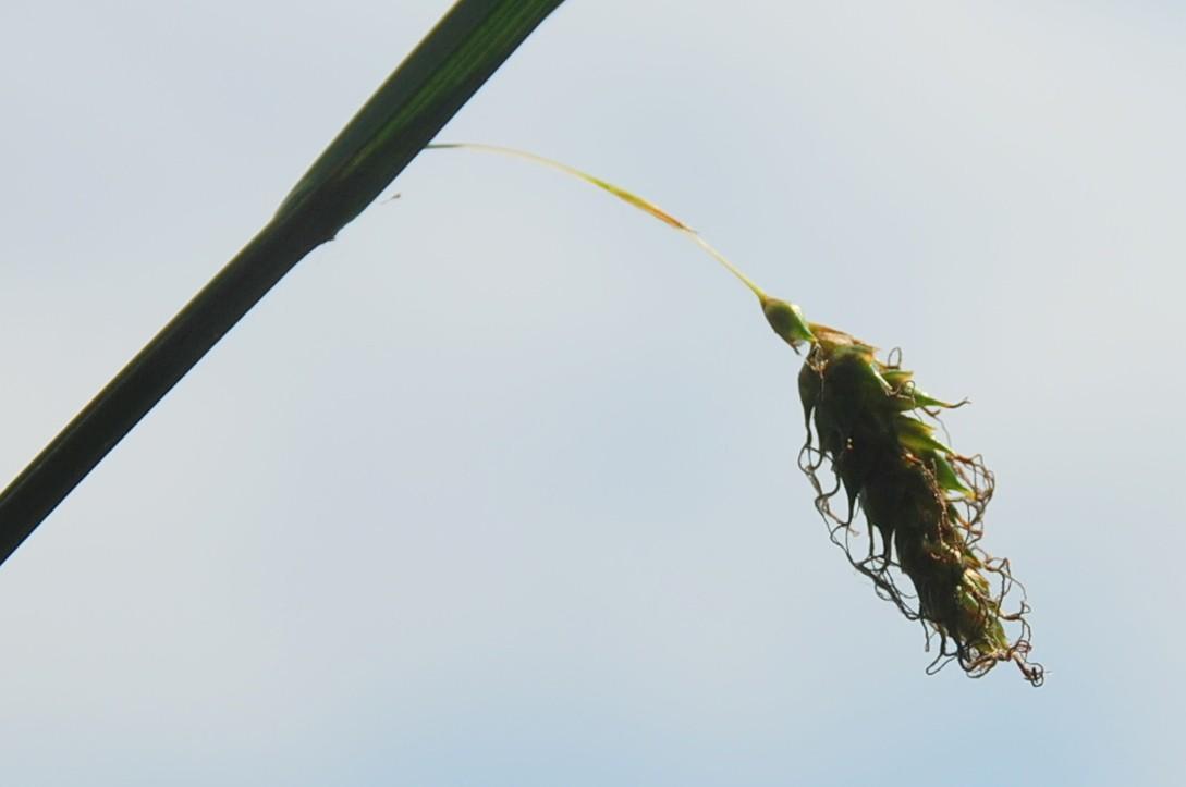 Carex distans 5