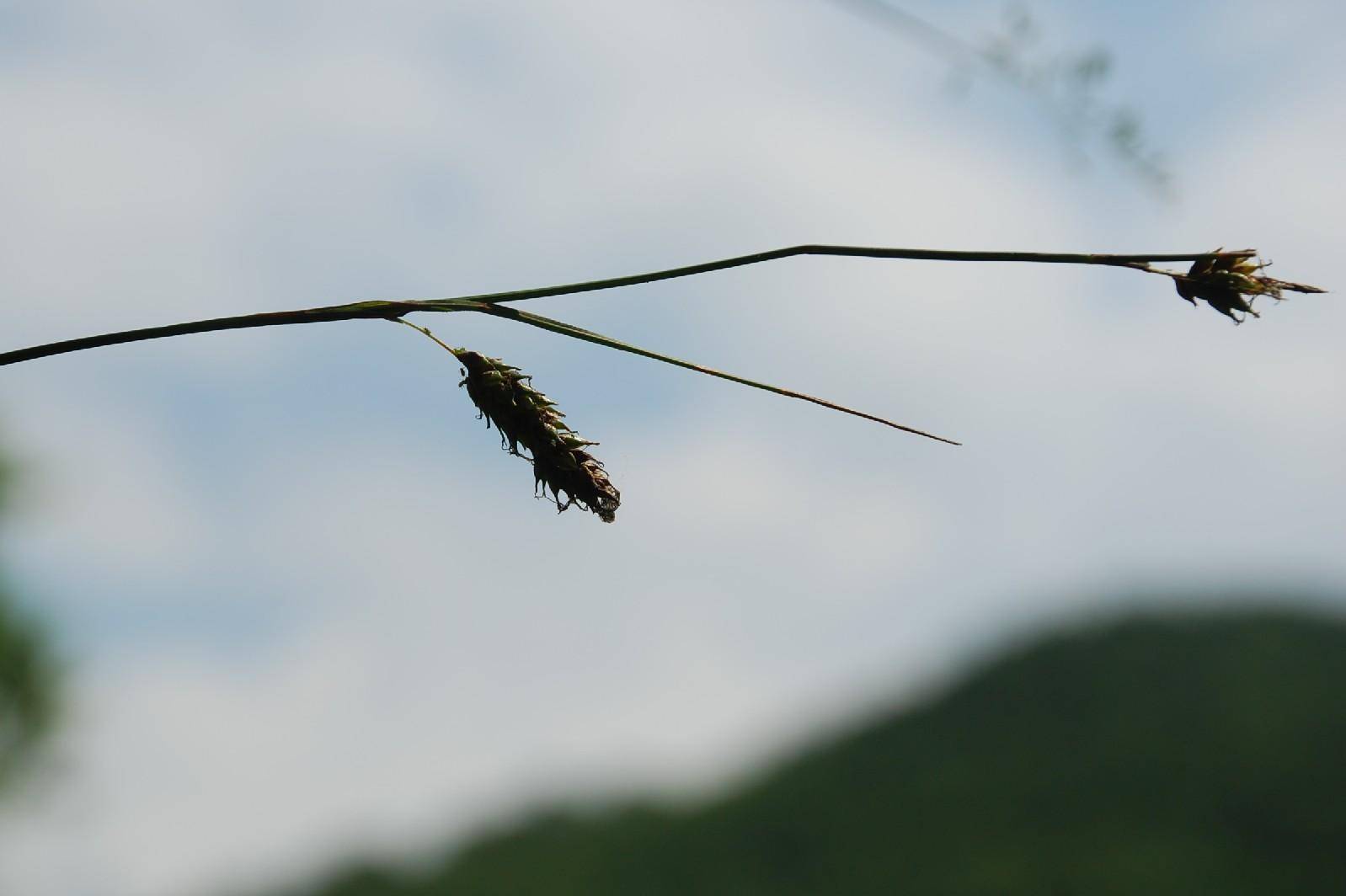 Carex distans 6